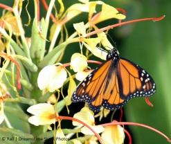 butterfly.dreamstimefree_72904