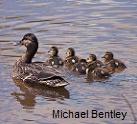 ducks.cc.Michael Bentley.14128135827_e757af0775_m